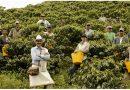 Giáo sư Harvard: Cà phê Việt đủ ngon, nhưng giá vẫn rớt thảm vì không biết quảng bá