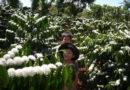 Thương lắm mùa cà phê Tây Nguyên